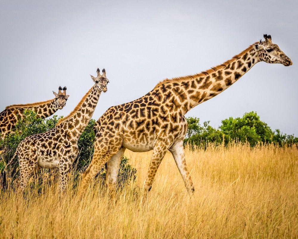 Where is the Maasai Mara National Reserve?